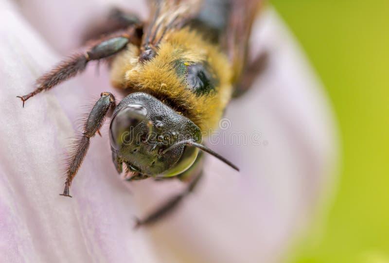 Makro- wizerunek Mamrocze pszczoły na menchia kwiacie zdjęcie royalty free