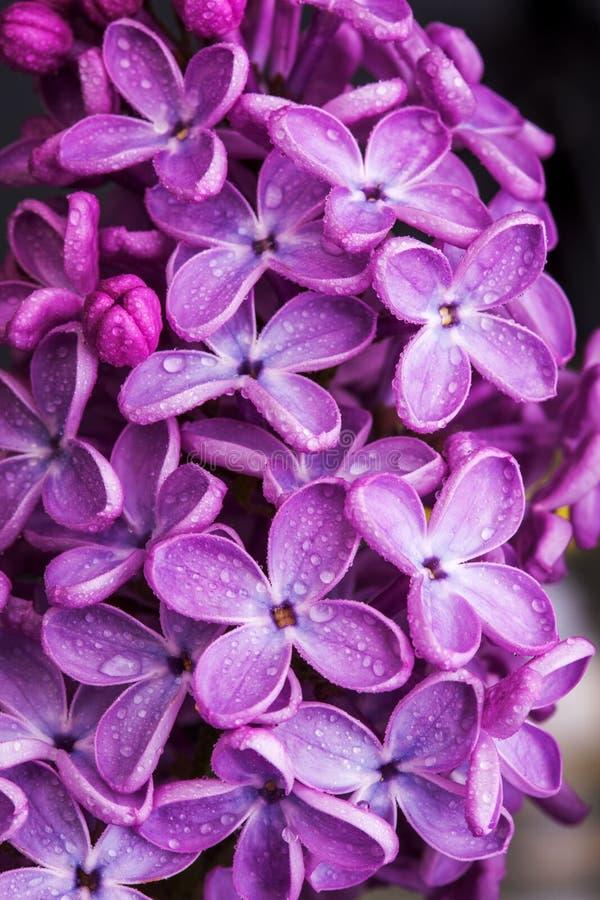 Makro- wizerunek wiosna lili fiołkowi kwiaty, abstrakcjonistyczny miękki kwiecisty tło zdjęcia royalty free