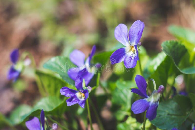 Makro- wizerunek wiosna lili fiołkowi kwiaty, abstrakcjonistyczny miękki kwiecisty tło Fiołki kwitną z selekcyjną ostrością Łąka  zdjęcie stock
