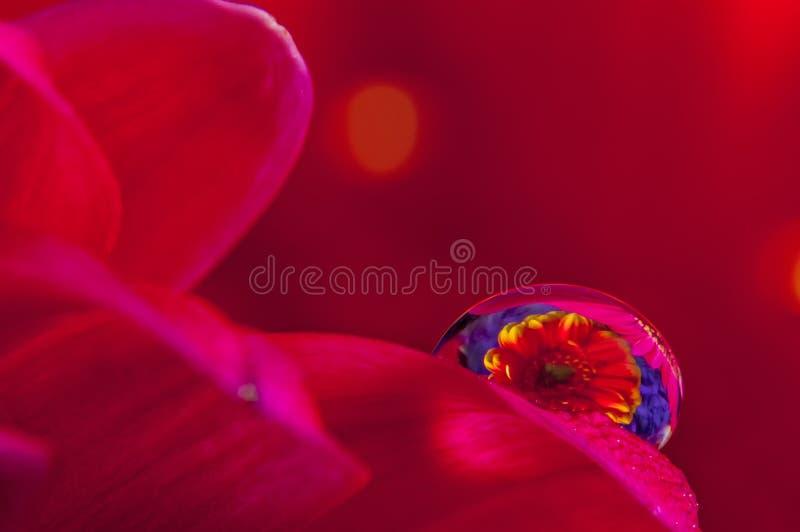 Makro- wodne krople z gerber kwiatem zdjęcia royalty free