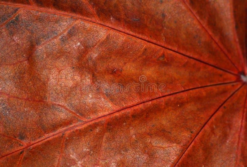 Makro- wysuszony liść zdjęcie royalty free
