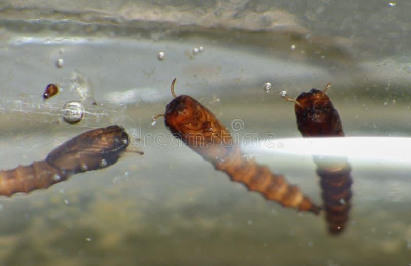 Makro- zakończenie w górę komar larwy zakłada w wodnej balii w ogródzie, fotografia nabierająca Zjednoczone Królestwo zdjęcie stock