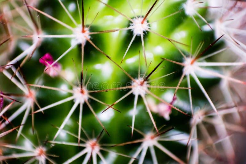 Makro- zbliżenia kaktusowy krótkopęd z wiele białymi małymi cierniami - obrazy stock