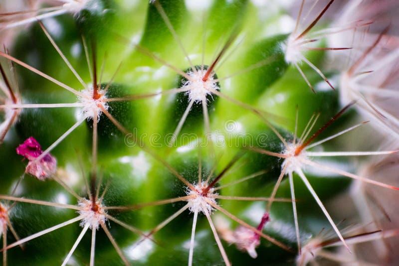 Makro- zbliżenia kaktusowy krótkopęd z wiele - ciernia i zielonego koloru dom obraz royalty free