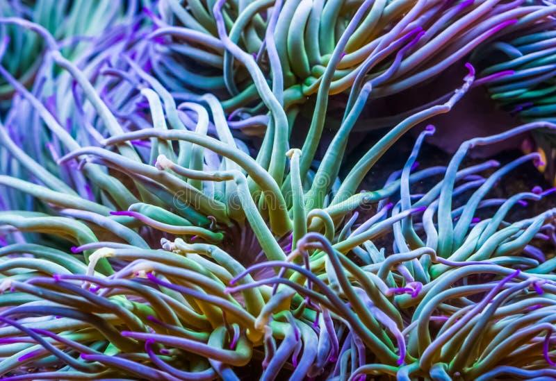 Makro- zbliżenie czułki Śródziemnomorskich snakelocks denny anemon, pospolity tropikalny bezkręgowy specie, morski życie obraz royalty free