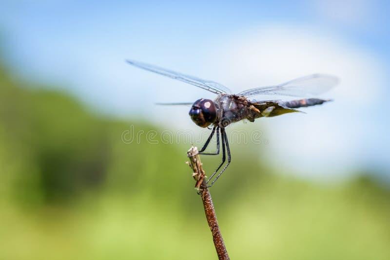 makro- zbliżenie dragonfly obrazy stock