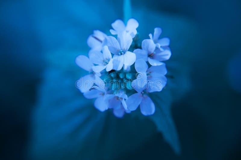 Makro- zbliżenie medicative zielarski okwitnięcie - czosnek musztardy Alliaria petiolata w błękitnym koloru planie zdjęcia royalty free
