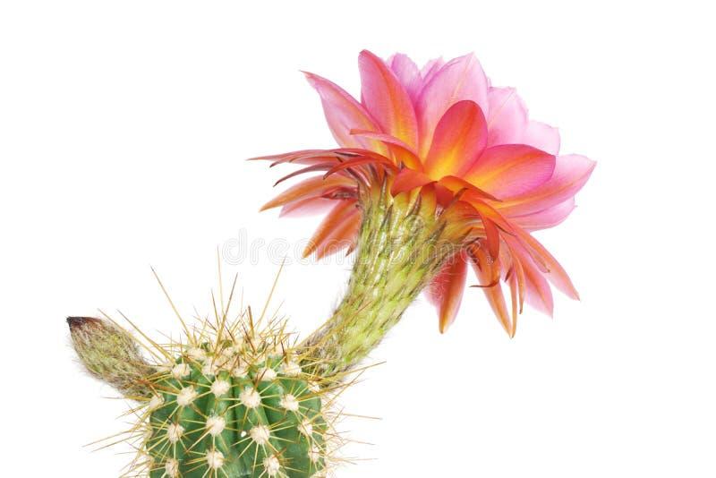 Makro- zbliżenie menchii Echinopsis Lobivia czerwony purpurowy kaktusowy kwiat odizolowywający na bielu obraz stock