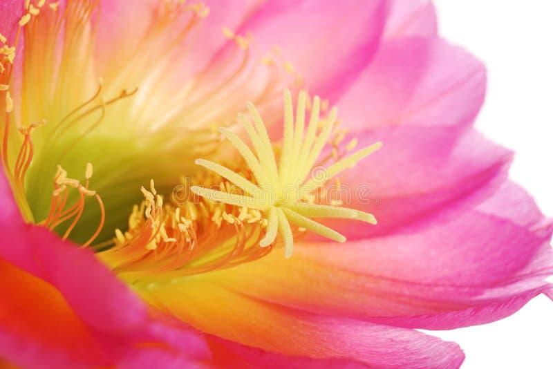 Makro- zbliżenie menchii Echinopsis Lobivia czerwony purpurowy kaktusowy kwiat odizolowywający na bielu zdjęcie stock