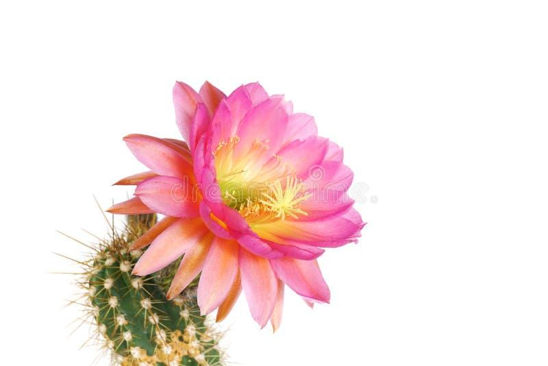 Makro- zbliżenie menchii Echinopsis Lobivia czerwony purpurowy kaktusowy kwiat odizolowywający na bielu zdjęcia stock