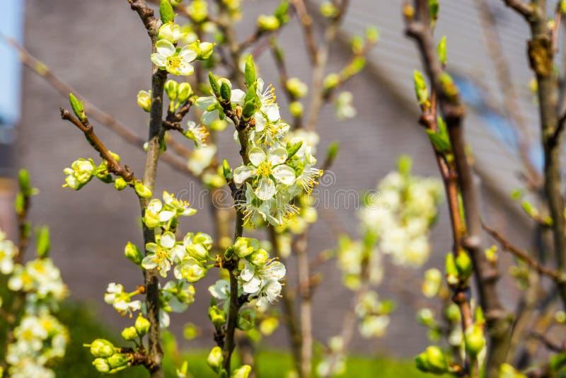 Makro- zbliżenie owocowy drzewo z białymi małymi różami, kultywuje organicznie owoc podczas wiosny obraz royalty free