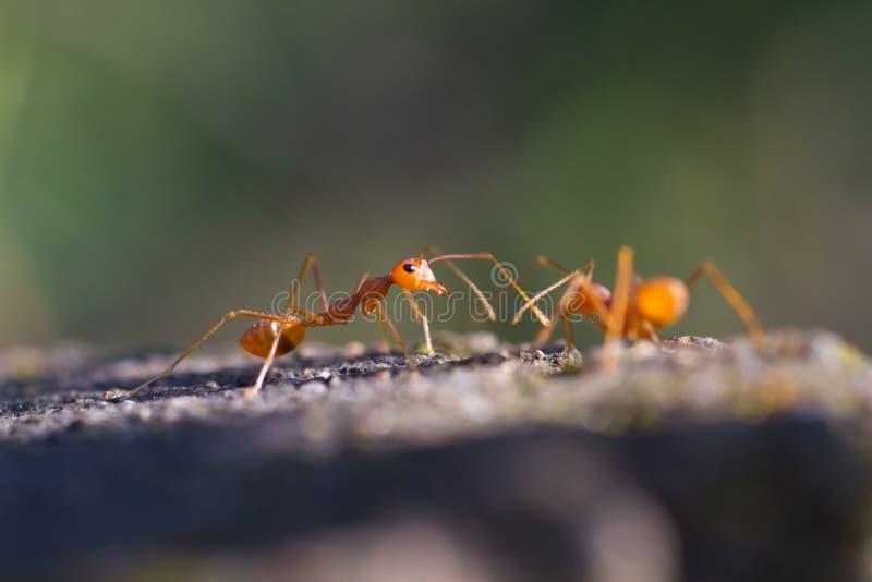 Makro- zbliżenie strzelający tkacza mrówki zdjęcie royalty free