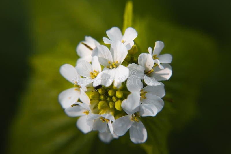 Makro- zbli?enie medicative zielarski okwitni?cie - czosnek musztardy Alliaria petiolata na rozmytym zielonym tle fotografia stock