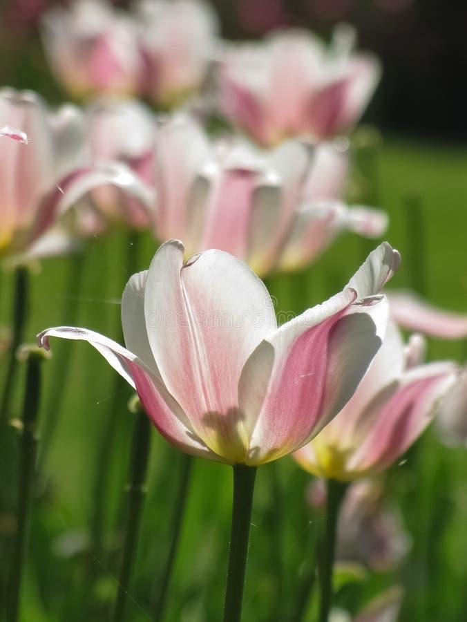 Makroansicht der weißen, rosa Tulpe und der Spinnennetze stockfotografie