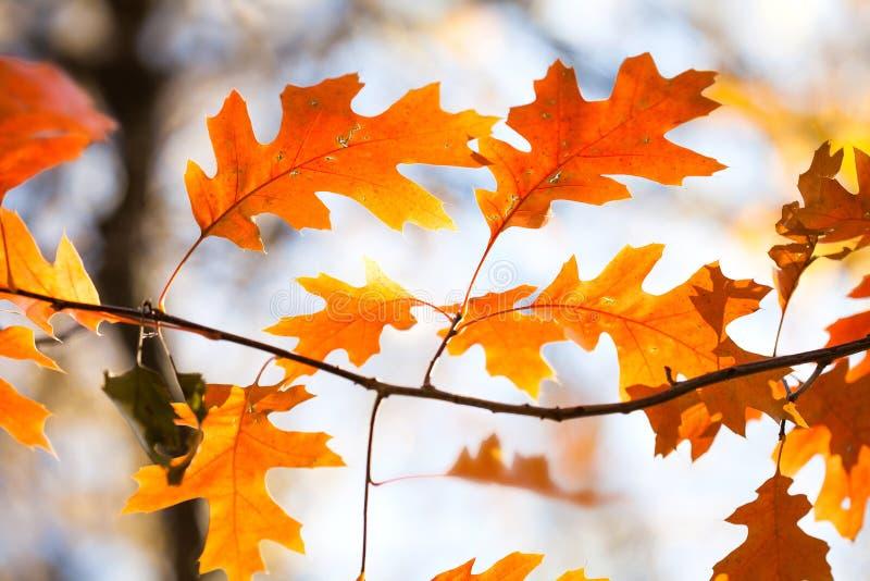 Makroansicht des schönen roten Eichenniederlassungs-Herbstlaubs Bunte orange braune Blätter, sonniger Tageswaldszene vorgewählt stockbild
