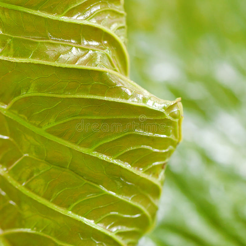 Bakgrund av den gröna leafen arkivfoto