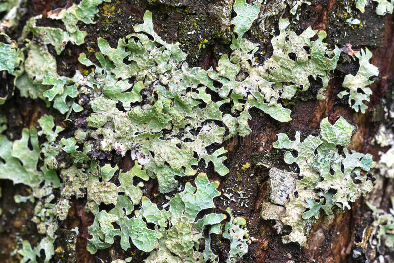Makrobeschaffenheit der grünen Flechte auf Baumrinde während des Sommers in Aust stockbilder