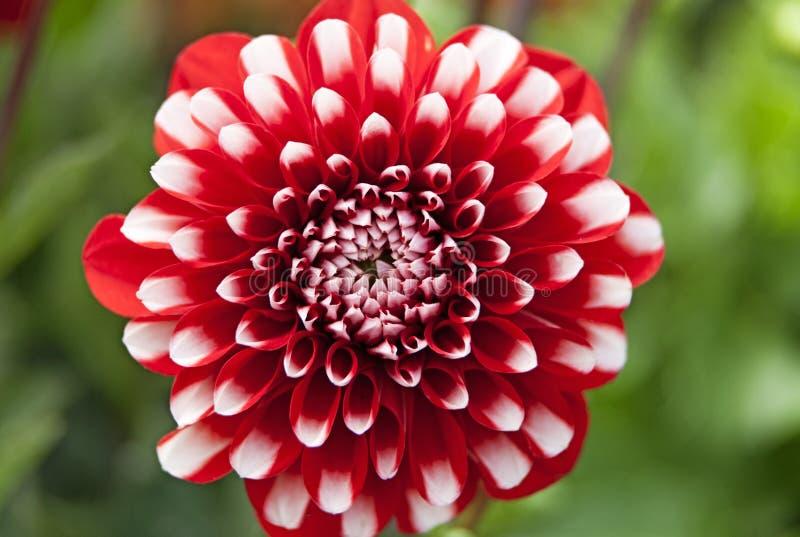 Makrobild auf roter und weißer Blume stockbilder