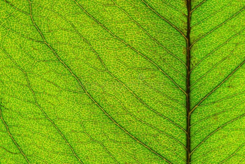 Makrobild av bladtextur fotografering för bildbyråer