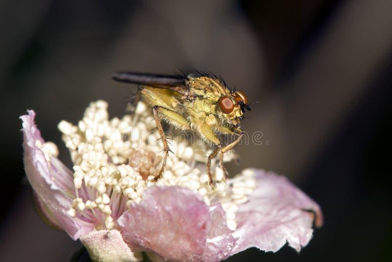 Makrobild av den lilla flugan på blomman, Sao Miguel, Azores, fotografering för bildbyråer