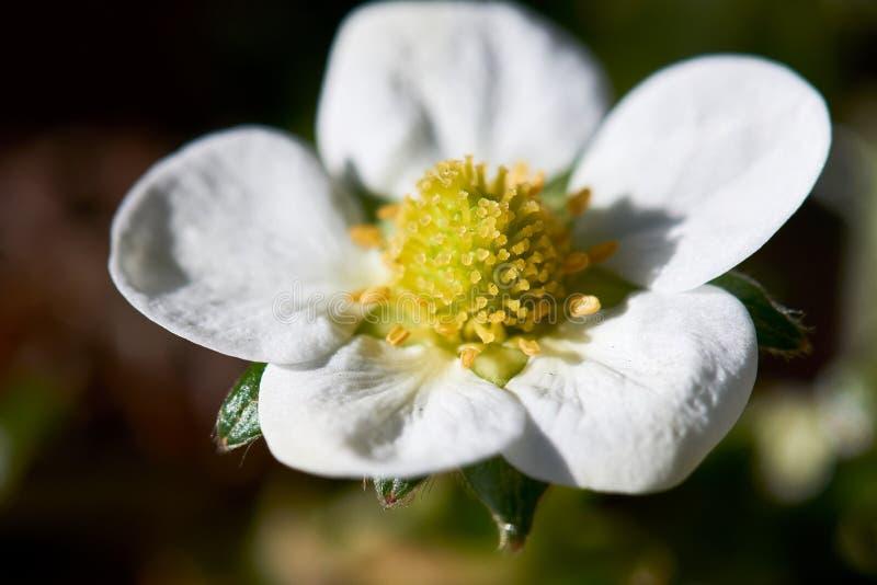 Makrobild av en jordgubbeblommablomning som är klar för pollination royaltyfri fotografi