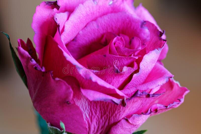 Makrobild av en röd rosa blomma royaltyfri fotografi