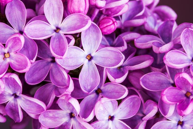 Makrobild av lila violetblommor för vår, abstrakt mjuk blom- bakgrund arkivbild