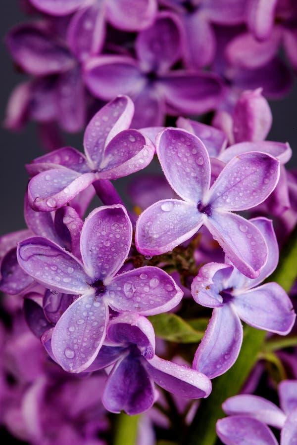 Makrobild av lila violetblommor för vår, abstrakt mjuk blom- bakgrund royaltyfri bild