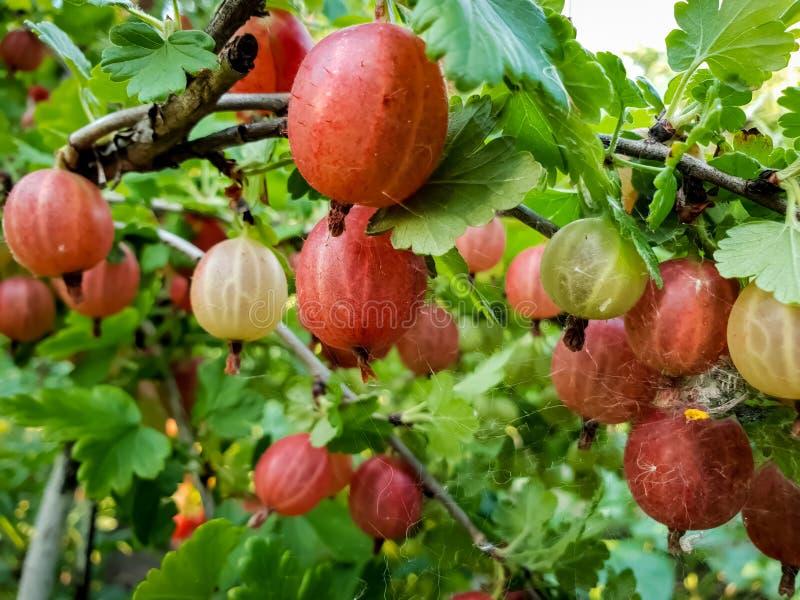 Makrobild av röda och gröna krusbär som hänger på filialer i trädgård Växa nya och mogna bär fotografering för bildbyråer