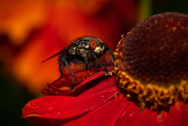 Makrobild der gemeinen Stubenfliege auf einer roten Blume lizenzfreie stockfotos