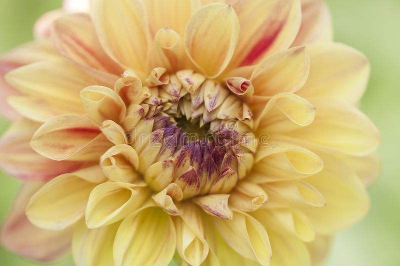 Makrobild der orange Dahlienblütenmitte stockfotos