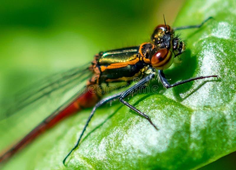 Makrobild der roten Maid-Fliege von der Seite stockfotos