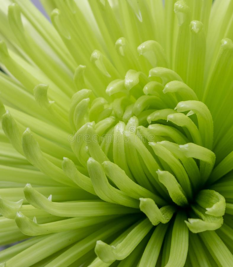 Makrobild einer blühenden grünen Chrysantheme lizenzfreie stockfotos