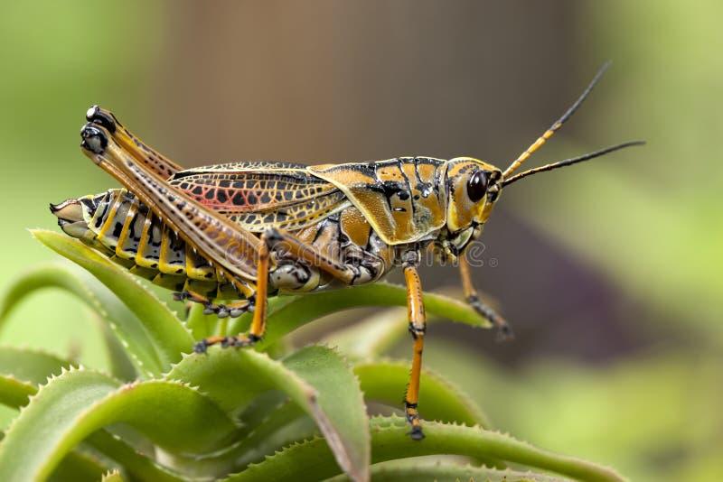 Makrobild einer gelben Heuschrecke stockfotografie