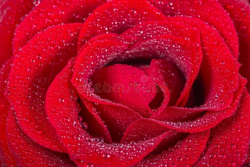 Makrobild som en härlig röd ros med vatten tappar royaltyfria foton
