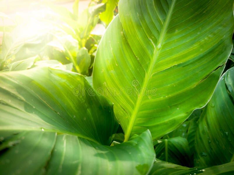 Makrobild von schönen Bananenpalmblättern in den Lichtstrahlen des hellen Sonnenscheins Nahaufnahme geschossen von den tropischen lizenzfreie stockfotografie