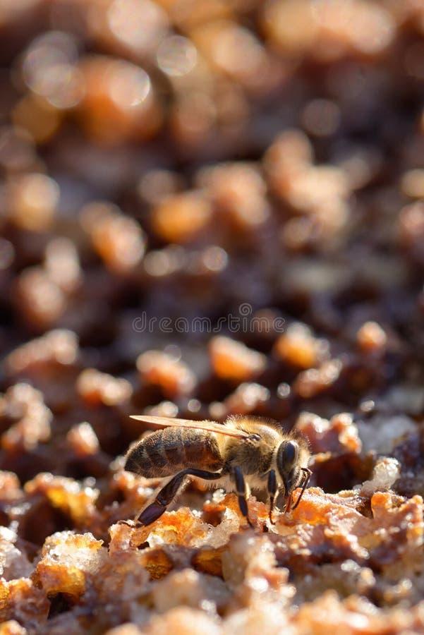 Makrobin i en bikupa arkivfoton
