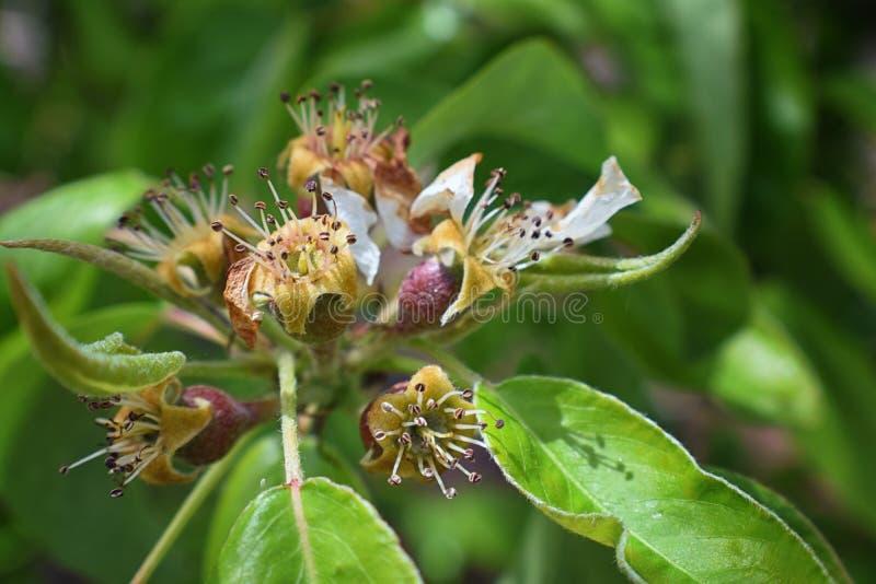 Makroblomningfilial av spirande päron Blommande vårstugaträdgård Blommar att vissna för päronnärbild suddighet bakgrund Päron b royaltyfria foton