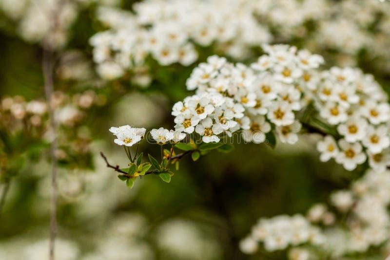 Makrobuske av små vita blommor på en filial royaltyfria foton