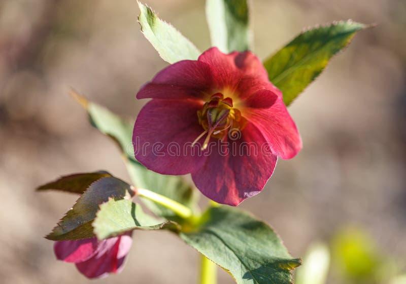 Makrocloseup av djupt - purpurf?rgad blomma och knopp med sidor av helleborusen Niger i tr?dg?rd royaltyfri foto