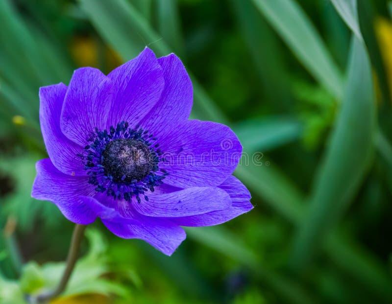 Makrocloseup av en purpurfärgad anemonblomma, populär kultiverad dekorativ blomma, färgrika blommor för trädgården royaltyfria foton