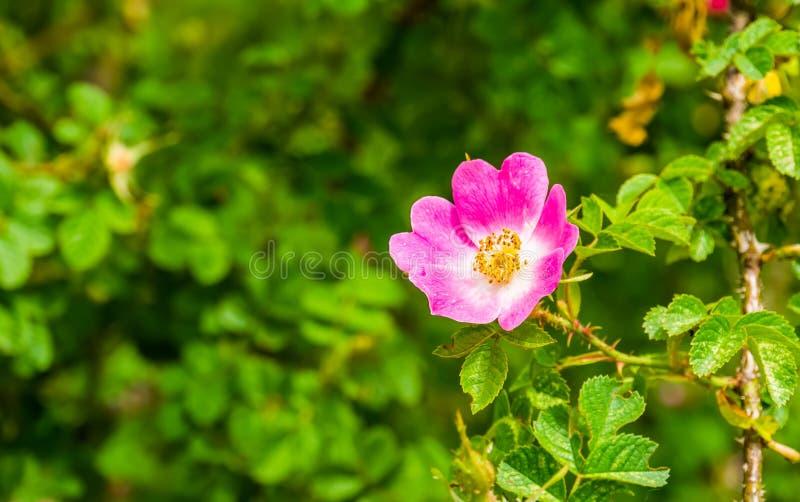 Makrocloseup av en rosa japansk ros i blom, populära växter för dekorativ trädgård, naturbakgrund arkivbilder