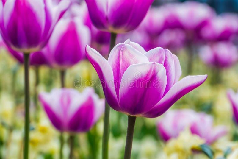 Makrocloseup av en vit och purpurfärgad tulpanblomma med ett fält av tulpan i bakgrunden, traditionella holländska blommor, natur arkivbild
