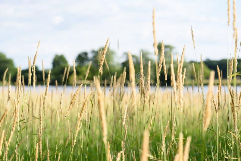 Makrocloseup av högväxt gräs i illinois natursylter arkivfoto