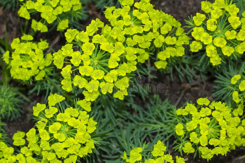 Makrocloseupbakgrund av gula gröna blommor och sidor av Euphorbiacyparissias, växten för cypressspurgemilkweed i royaltyfri fotografi