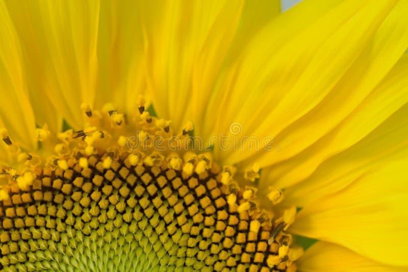 Makrodetaljer av den gula solrosen i natur royaltyfria foton