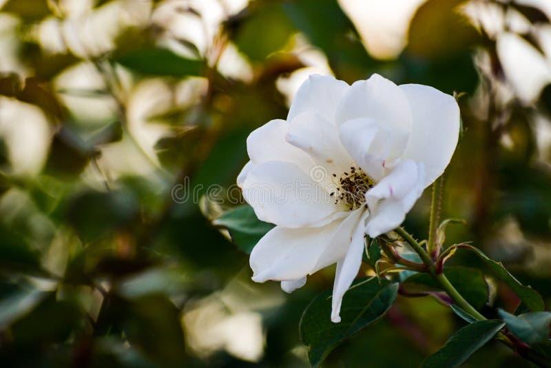 Makroen för den vita blomman steg kronbladdetaljdet fria, natur somträdgården parkerar blomningblombokeh, gröna träd fjädrar bely royaltyfri bild