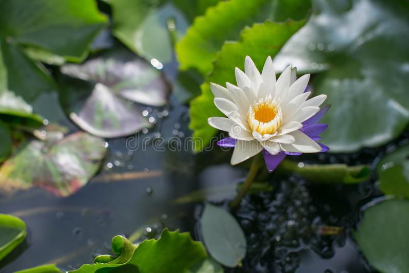 Makroen Lotus Flowers är blommande i den härliga trädgården arkivfoton
