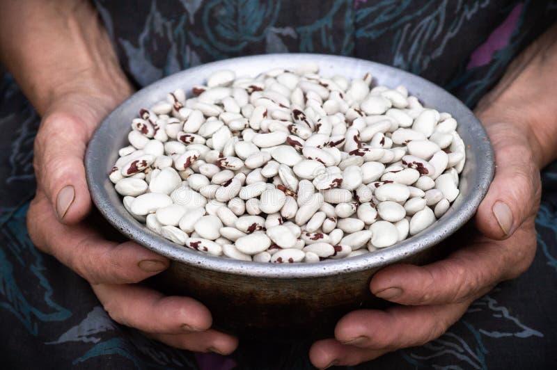 Makroen sköt med grunt djup av fältet av rå vita njurebenas Vita njurebönor med röda fläckar i händerna av farmodern, gamla hände arkivfoton