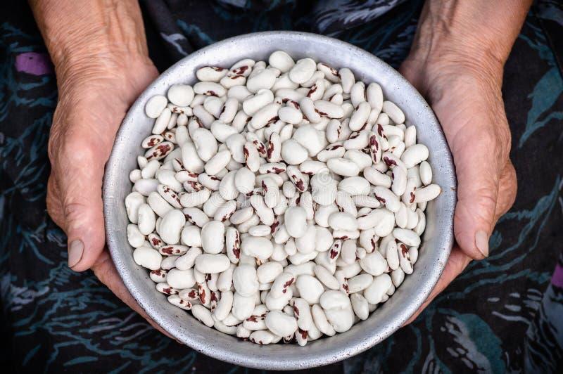 Makroen sköt med grunt djup av fältet av rå vita njurebenas Vita njurebönor med röda fläckar i händerna av farmodern, gamla hände royaltyfria bilder